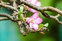 Azalee Rhododendron von bk-photographie