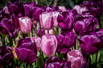 Pink and Purple Tulips by Colin Metcalf