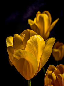 Yellow Tulips by Colin Metcalf