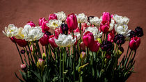 White, Pink and Black Tulips von Colin Metcalf