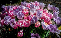 Lilac, Pink and White Tulips von Colin Metcalf