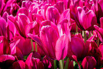 Pink Tulips by Colin Metcalf