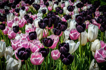 Pink, White and Black Tulips von Colin Metcalf