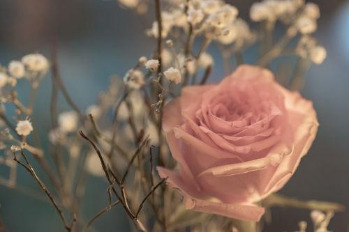 Rose-0250
