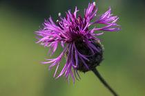 Flockenblume  by kraeuterfotografie