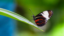 Butterfly by franziskus