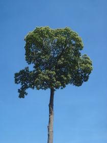 Edelkastanien-Baum-Krone im Sommer mit blauem Himmel von Andrea Köhler