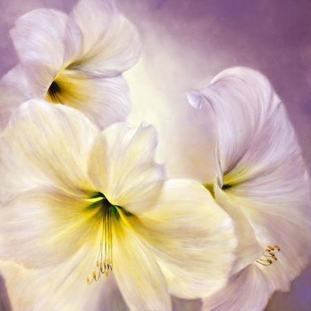 1709-weisse-amaryllis