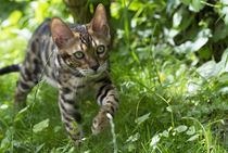 Bengal Kitten / 18 by Heidi Bollich