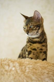 Bengal Kitten / 21 von Heidi Bollich