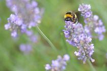 Biene auf Lawendel by René Lang