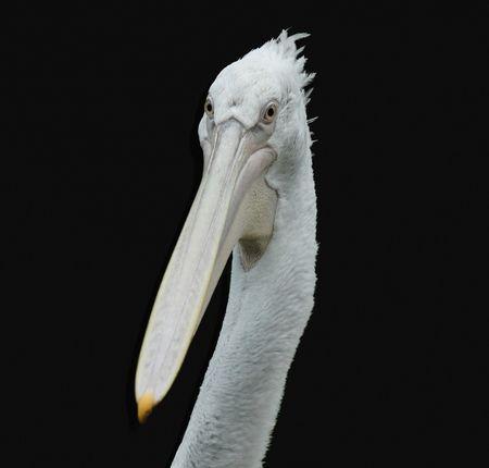 Pelikan-1