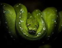 'Python' von Patrick Ebert
