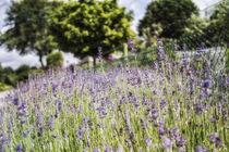 Lavendelfeld by Petra Dreiling-Schewe