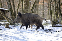 Keiler im Winterwald von Harald Schottner