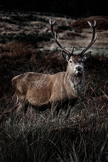 Majestic Stag by Gillian Sweeney