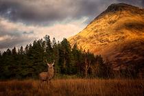 Stag in Glen Etive by Gillian Sweeney