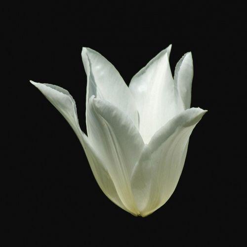 Weisse-tulpe