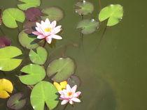 Seerosen auf dem Teich by yvi-mueller