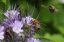 Fleißige Bienchen - unsere wertvollen Helferlein von kraeuterfotografie