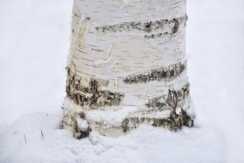 Birken-winter2