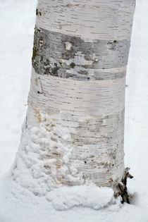 Birke im Schnee von Peter Bergmann