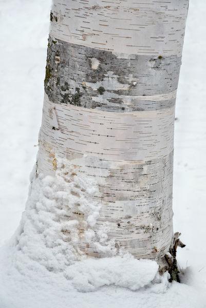 Birke-winter1