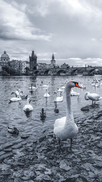 Group of swans on Vltava River in Prague, Czech Republic by Tomas Gregor
