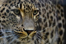 Leopard by René Lang