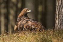 Grounded Eagle by David Hare