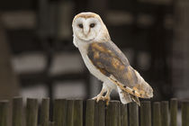 Barn owl by David Hare