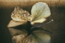 Hortensienblüte von Petra Dreiling-Schewe