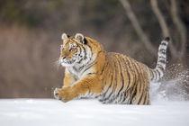 'Sibirischer Tiger' von anneliese-photography