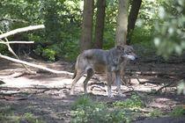 Wolf, wolve, Grauwolf, Gray wolve, canis lupus. von fischbeck