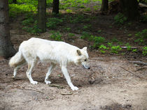 Wolf, Polarwolf, Weisswolf, Arctic wolve, White wolve. Canis lupus arctos. by fischbeck