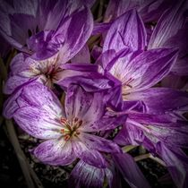 Mauve and Cream Crocuses von Colin Metcalf
