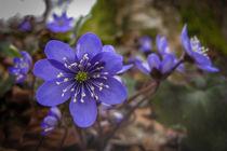 Leberblümchen im Laubwald VI von Christine Horn