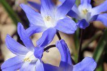 Blaue Blüte März 2018 von Art of Irene S.