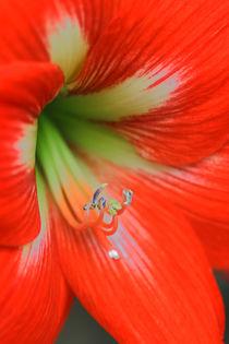Amaryllisblüte 2 von Bernhard Kaiser