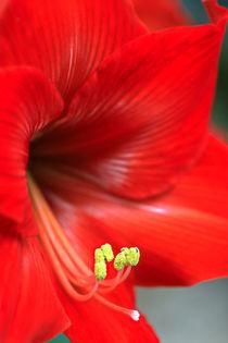 Amaryllisblüte by Bernhard Kaiser
