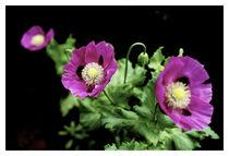 Poppies In the Dark 1 by wayne pilgrim