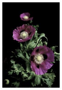 Poppys' In The Dark by wayne pilgrim