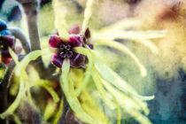 Zaubernussblüten von Nicc Koch