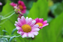 Rosa Margeriten im Garten von Birgit Wagner