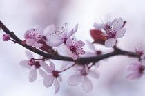 Mandelblüte von ysanne