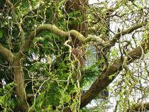Suchbild !! --> ein Dompfaffweibchen in einer Weide von assy