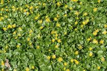 Scharbockskraut führt den Frühling an von Hartmut Binder