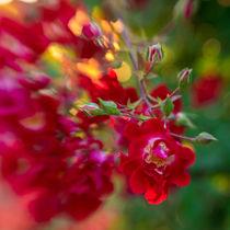 Canin Rose von Elisa Marmugi