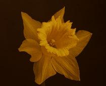Narzisse, gelb von Lars Spangenberg