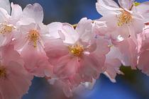 Zierkirschenblüten by Bernhard Kaiser